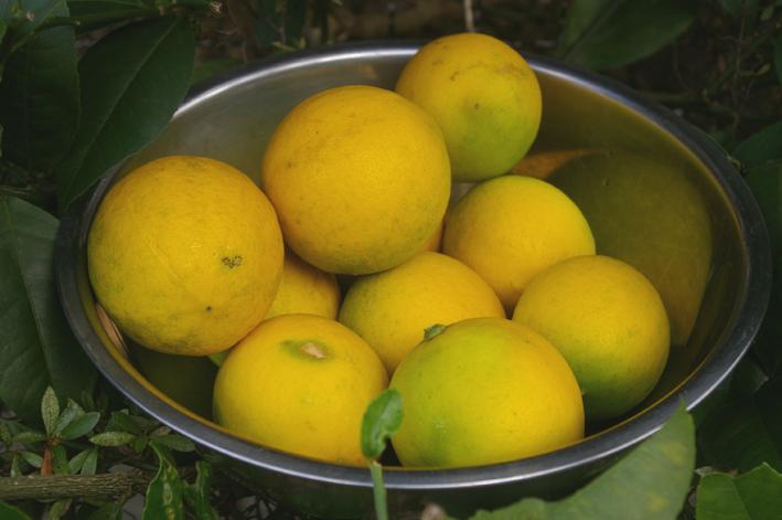 自宅の庭のレモンを初収穫、ハチミツレモンに(10・11・21)_c0014967_9532988.jpg