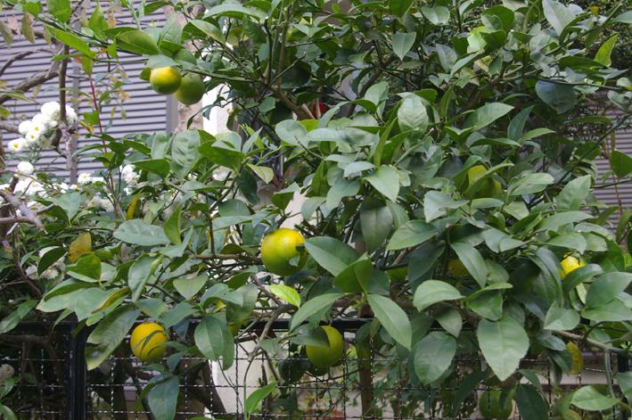 自宅の庭のレモンを初収穫、ハチミツレモンに(10・11・21)_c0014967_955217.jpg