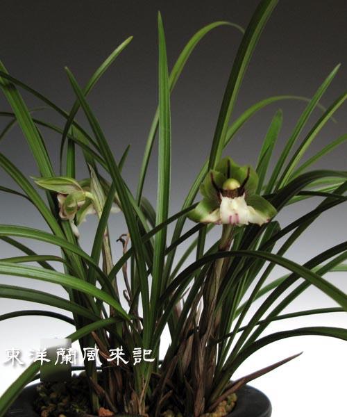 中国春蘭「笑蝶」                    No.894_d0103457_105194.jpg