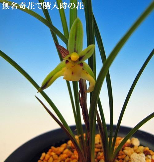 中国春蘭「笑蝶」                    No.894_d0103457_2156102.jpg