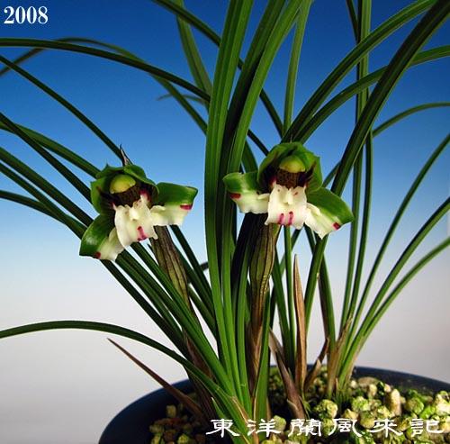 中国春蘭「笑蝶」                    No.894_d0103457_21563017.jpg