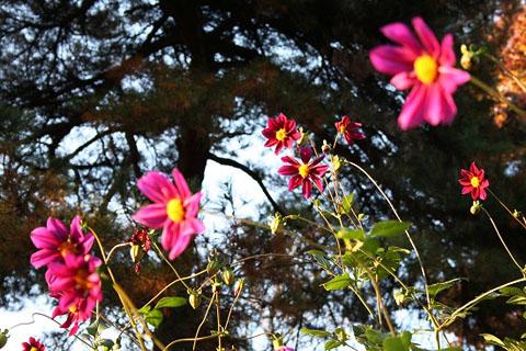 こんな色もあった皇帝ダリア。野鳥の水浴び_f0030085_20233350.jpg