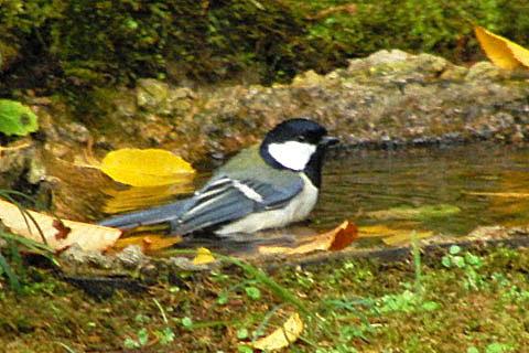 こんな色もあった皇帝ダリア。野鳥の水浴び_f0030085_2026392.jpg