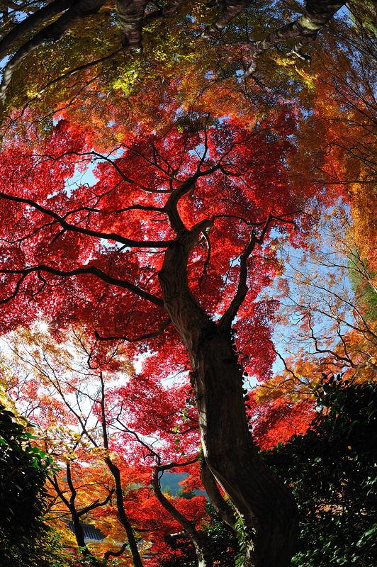 2010京都の紅葉 金蔵寺_f0032011_1717310.jpg