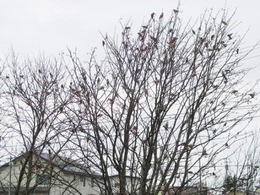 2010年11月23日(火):キレンジャクのなる木&市街地でヤマセミ_e0062415_1711220.jpg
