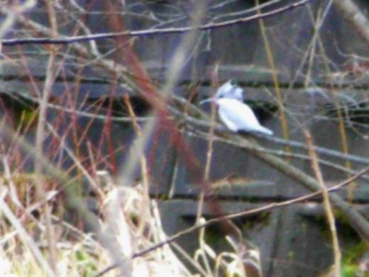 2010年11月23日(火):キレンジャクのなる木&市街地でヤマセミ_e0062415_17115754.jpg