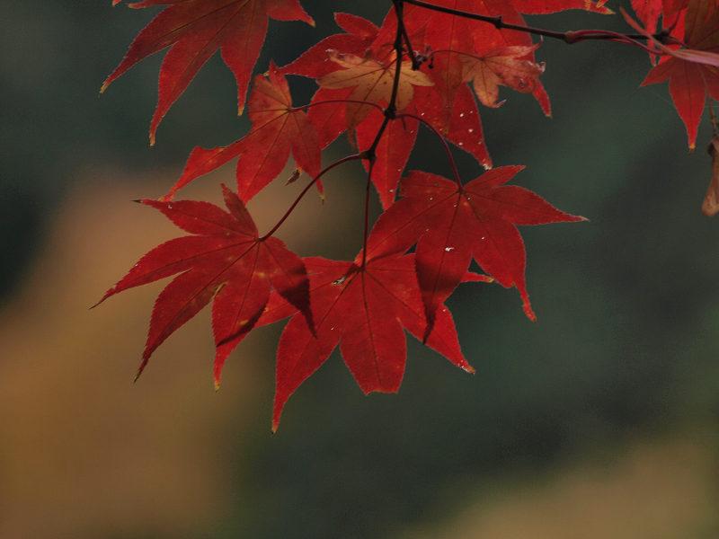 11/20  紅葉_f0051915_2215529.jpg