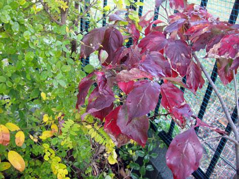 我が家の紅葉!_f0129726_22375361.jpg