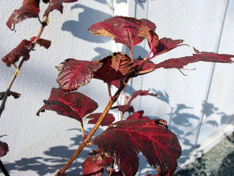 我が家の紅葉!_f0129726_22465014.jpg