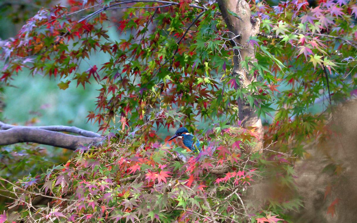 紅葉とカワセミ撮りたい!_f0215767_18481822.jpg
