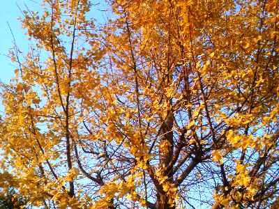 丈高き銀杏の並木、朝夕に何思うらん・・・。_e0188087_2245564.jpg