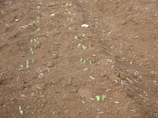 暖かい日差しを浴びながら......麦の種まき!_b0137932_15304887.jpg