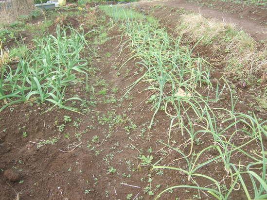 暖かい日差しを浴びながら......麦の種まき!_b0137932_15333818.jpg