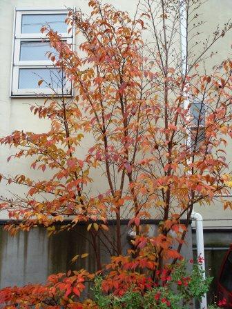 シンボルツリーの紅葉_a0163160_054698.jpg
