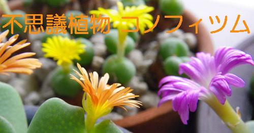 不思議植物 コノフィツムは太陽の子_a0136293_15175050.jpg