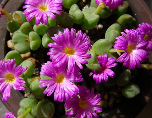 不思議植物 コノフィツムは太陽の子_a0136293_15191498.jpg