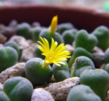 不思議植物 コノフィツムは太陽の子_a0136293_15194865.jpg