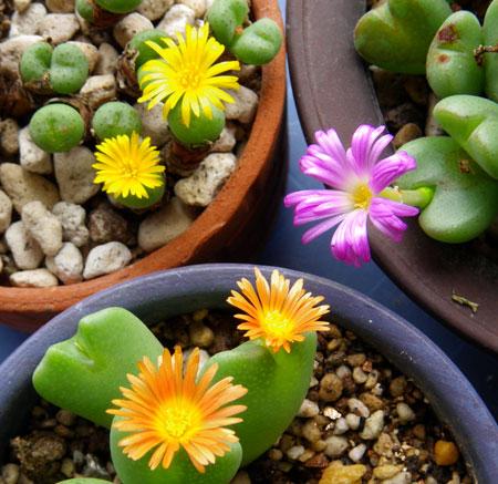 不思議植物 コノフィツムは太陽の子_a0136293_15202924.jpg