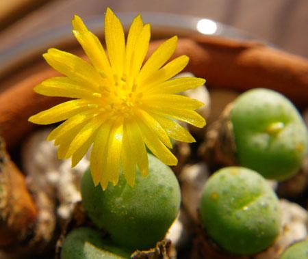 不思議植物 コノフィツムは太陽の子_a0136293_1520533.jpg