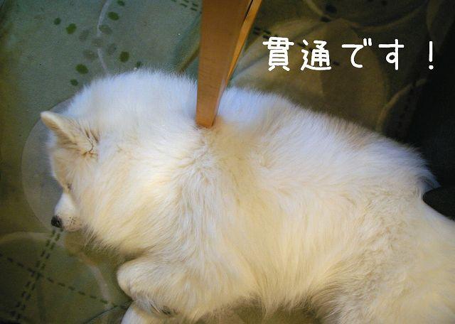 サモエド・マジックショー_c0062832_1623128.jpg