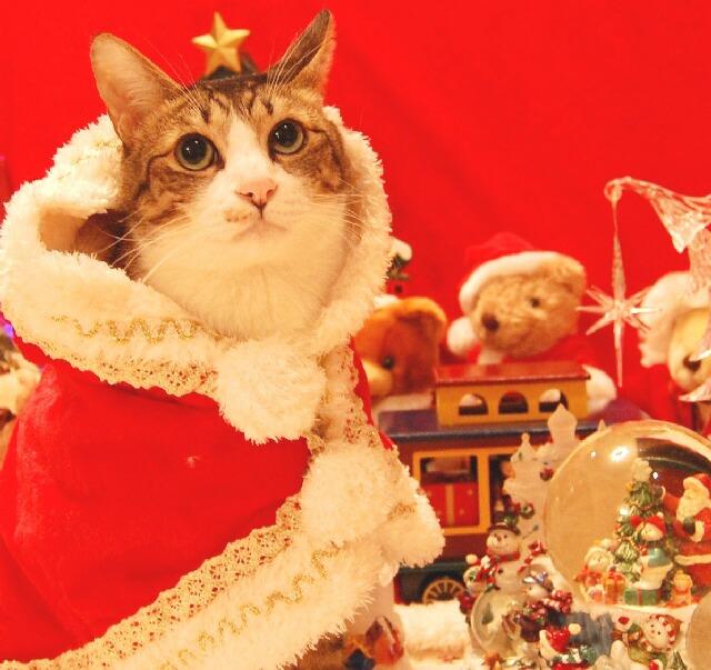 Yahoo!ペット第3回「クリスマスコスプレ」コンテストエントリー猫 空ぽーしぇるのぇるろった編。_a0143140_1531388.jpg