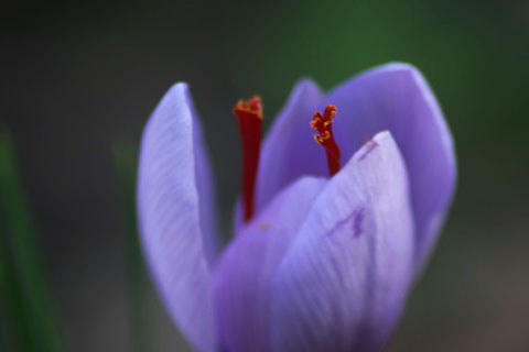 サフランと冬咲きクロッカス。それぞれの秋_f0030085_20292483.jpg