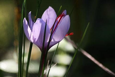 サフランと冬咲きクロッカス。それぞれの秋_f0030085_20294394.jpg