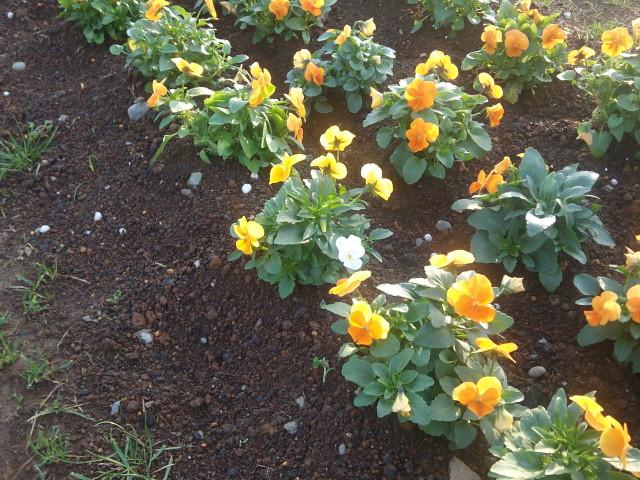 花菜ガーデン_d0164691_7271147.jpg