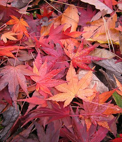 11月26日 嶺公園 菖蒲園の紅葉_a0001354_22103078.jpg