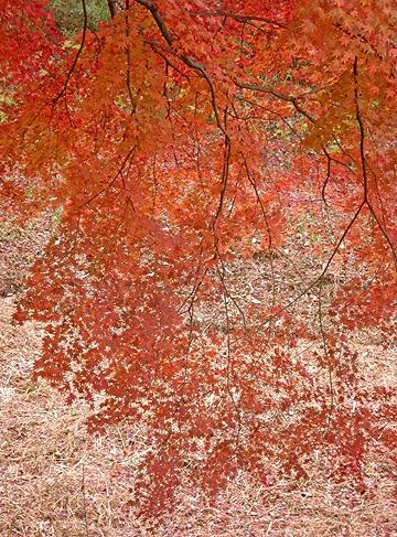 11月26日 嶺公園 菖蒲園の紅葉_a0001354_22111580.jpg
