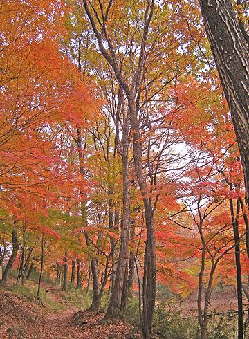 11月26日 嶺公園 菖蒲園の紅葉_a0001354_2292872.jpg