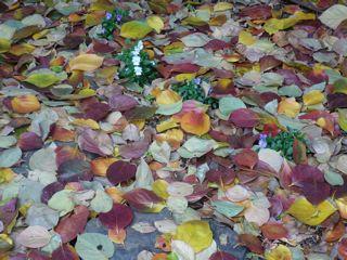 落葉の絨毯_c0203401_16202938.jpg