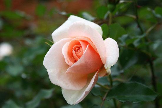 旧古河庭園の紅葉と、薔薇_f0030085_20344096.jpg