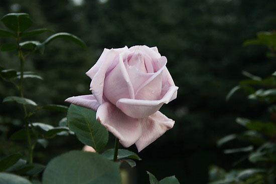 旧古河庭園の紅葉と、薔薇_f0030085_20345869.jpg