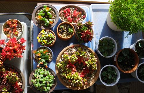 多肉植物の冬支度やら、イロイロと・・・(^^)v_a0136293_172868.jpg