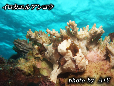 Divehouse Kanaloa  八丈島 ダイビングログ_b0189640_22145245.jpg