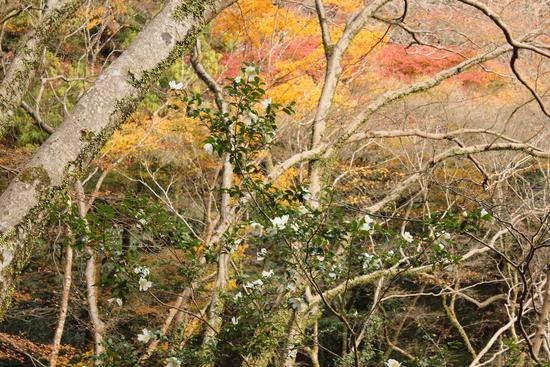 サザンカ 箕面滝道_d0202264_11511894.jpg