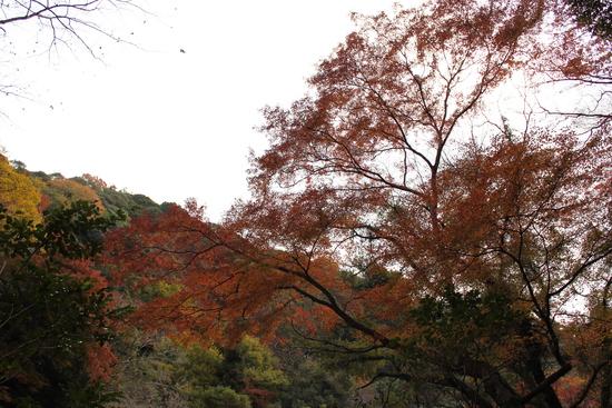 サザンカ 箕面滝道_d0202264_1153916.jpg