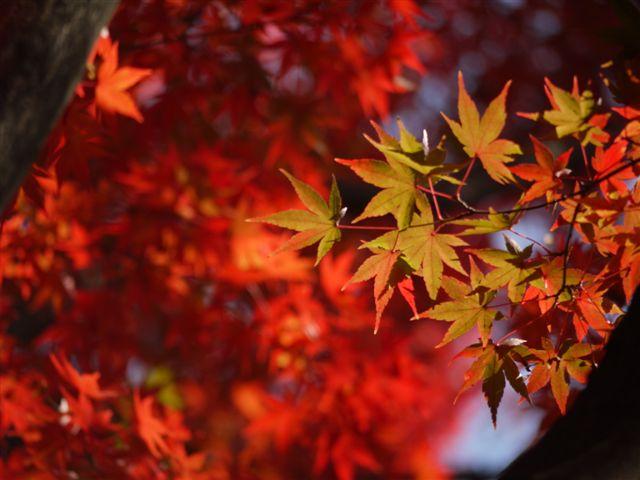 2010紅葉第二弾、殿ヶ谷戸庭園です、ここも見事\(^▽^)/_b0175688_10453461.jpg