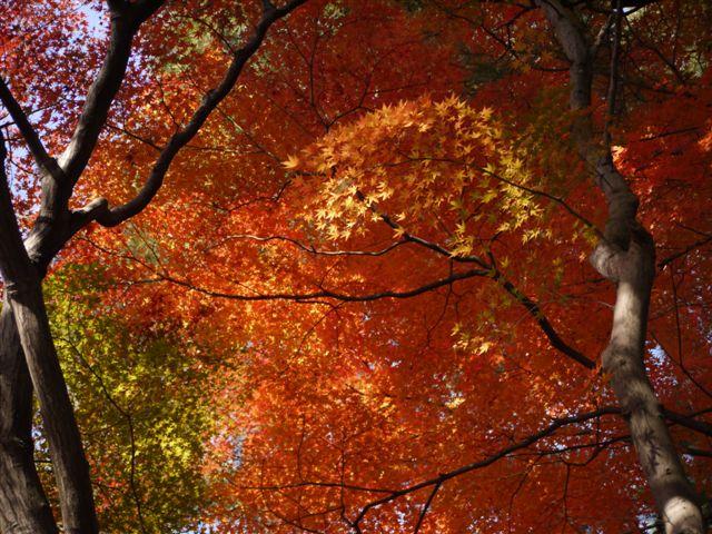 2010紅葉第二弾、殿ヶ谷戸庭園です、ここも見事\(^▽^)/_b0175688_10495186.jpg