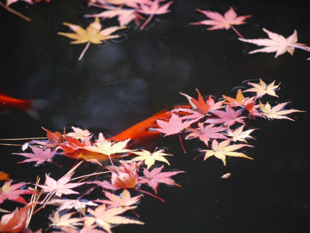 2010紅葉第二弾、殿ヶ谷戸庭園です、ここも見事\(^▽^)/_b0175688_1049715.jpg