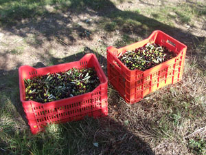 2010年「オリーブオイル買い付けの旅」オリーブ農家訪問トスカーナ編②_d0170094_724116.jpg