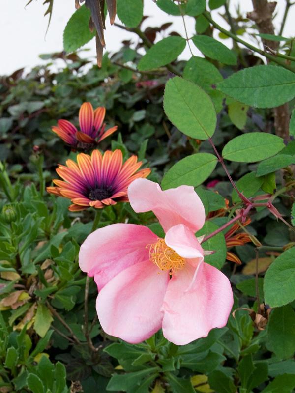 乙薔薇 2010秋 Pt.5 ロサ ムタビリス など ^^_f0191870_18121943.jpg
