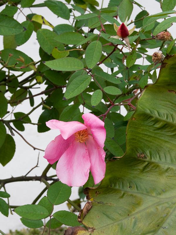 乙薔薇 2010秋 Pt.5 ロサ ムタビリス など ^^_f0191870_1812574.jpg