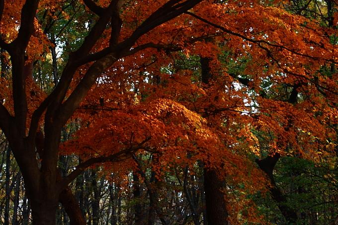 都立野川公園の紅葉 その2_e0165983_101630100.jpg