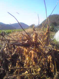 黒豆、収穫。_a0138985_22125822.jpg