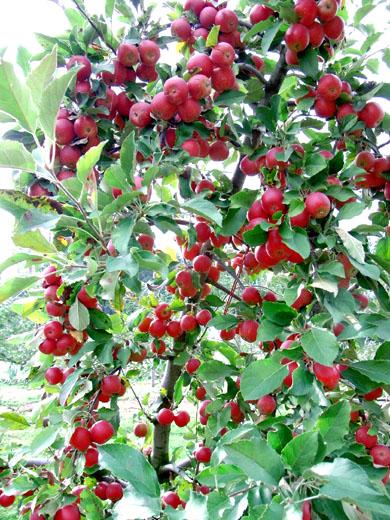 魅惑の林檎たち_d0198781_176196.jpg