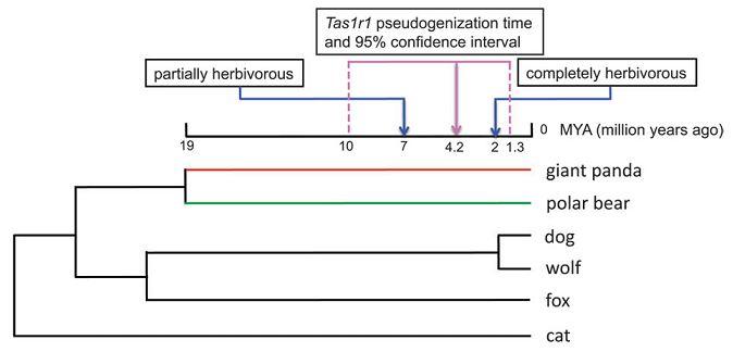 パンダが肉食を捨てる原因となった決定的遺伝子変異が起こった時_c0025115_23101238.jpg