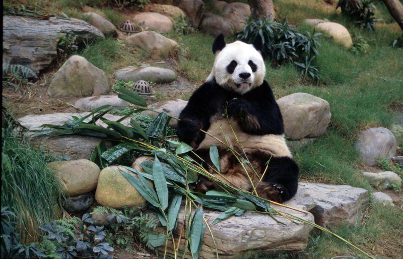 パンダが肉食を捨てる原因となった決定的遺伝子変異が起こった時_c0025115_239581.jpg
