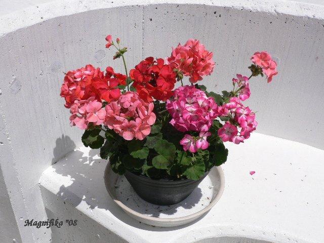 庭の贈物 gift from my garden: 2008年 ゼラニュウム  Geranium_e0140365_2201092.jpg
